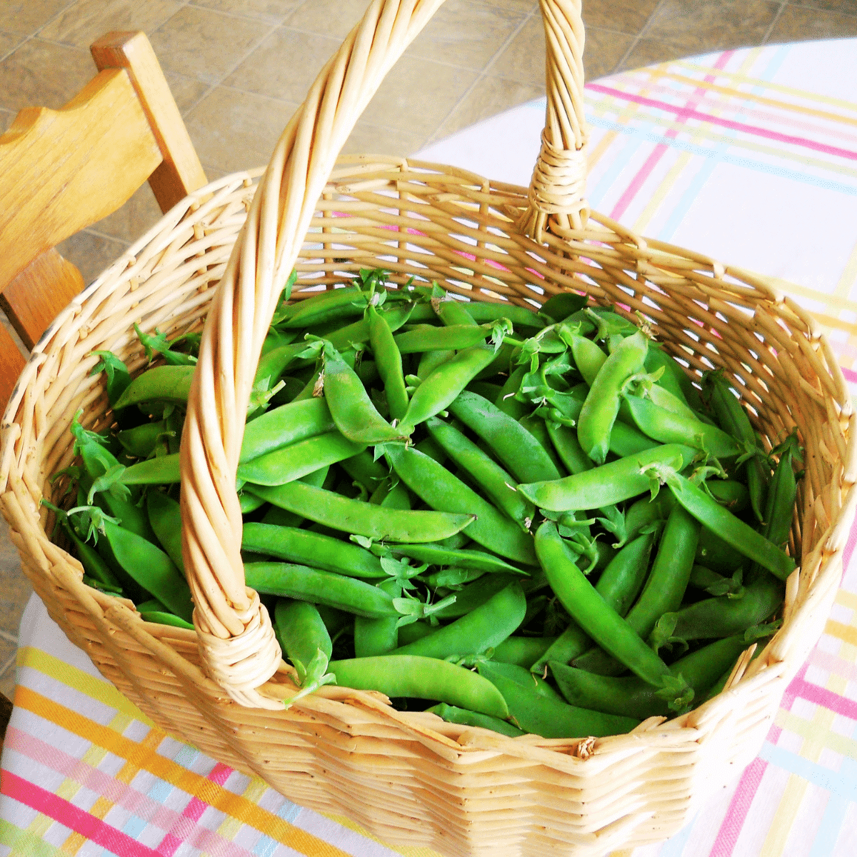 Freshly picked garden peas in a large wicker basket, placed on the kitchen table on a tablecloth